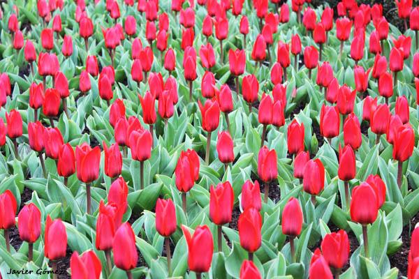 Tulipanes en el Keukenhof