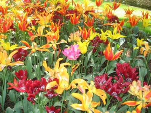 jardin-de-tulipanes